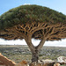 Dragon Tree, Espagne