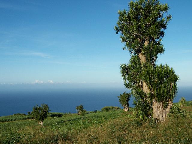 Bois de Chandelle, île de la Réunion
