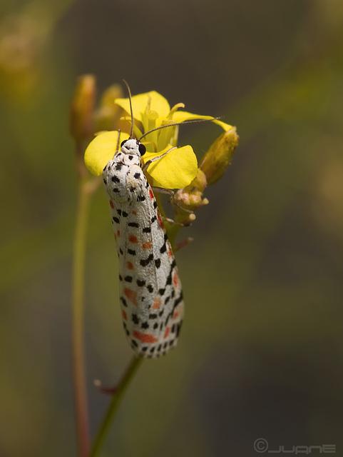 Utetheisa pulchella (Linnaeus, 1758)