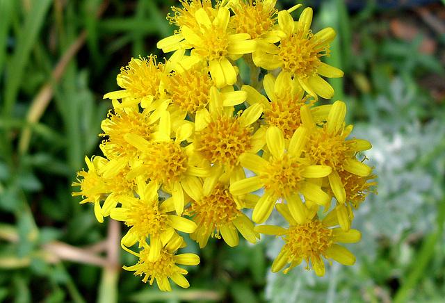 les fleurs du mal ou sénéçon de Jacob sont à éradiquer des jardins