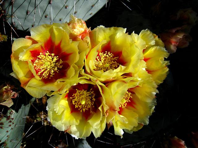 Cactus Flowers (2424)