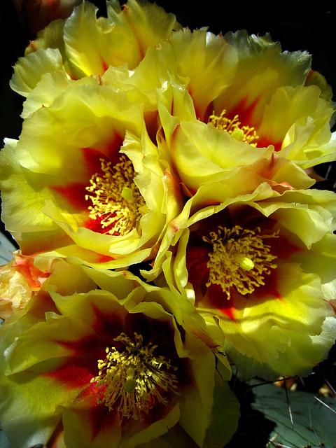 Cactus Flowers (2425)