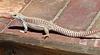 Lizard (4073)