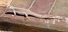 Lizard (4074)