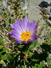 Aster (4066)