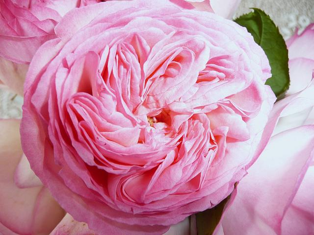 Une rose Pierre de  Ronsard