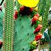 En vepro en Meksiko (kakto)