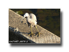 Heron.Looking for Breakfast. Enjoy.