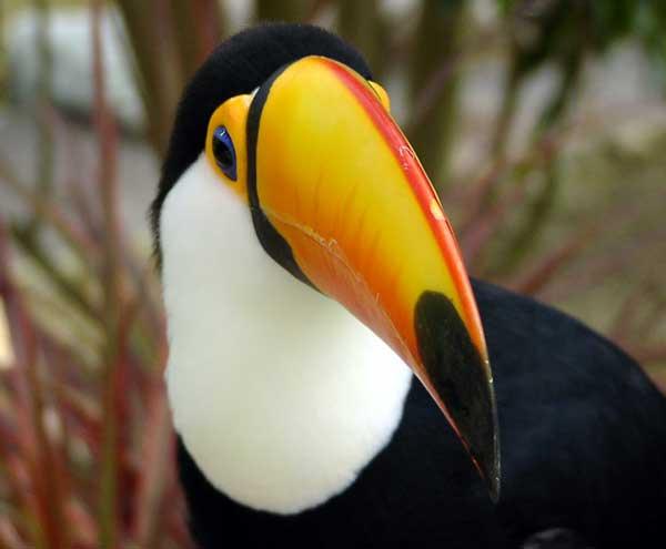 Toucan du Brésil
