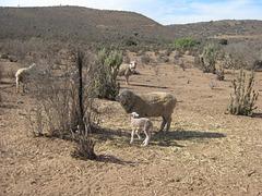 Recien Nacido, Estancia Quebrada Seca, Ovalle, IV Region, Chile