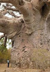 Baobab au Sénégal