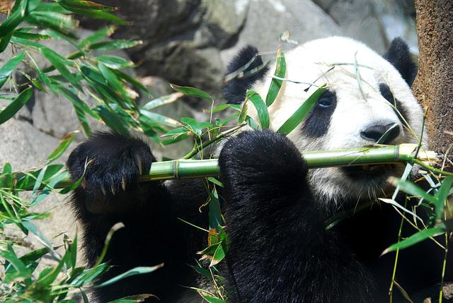 Panda Géant qui joue de la flûte