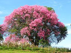 Ceiba Speciosa, Brésil