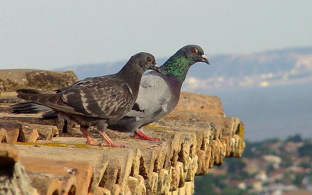 pigeons sur gênoise  surplombant l'étang de Berre ou deux pigeons s'aimaient d'amour tendre.....