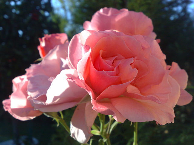 Rosas rosa.