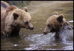 Badende Braunbären / Bathing brownbears
