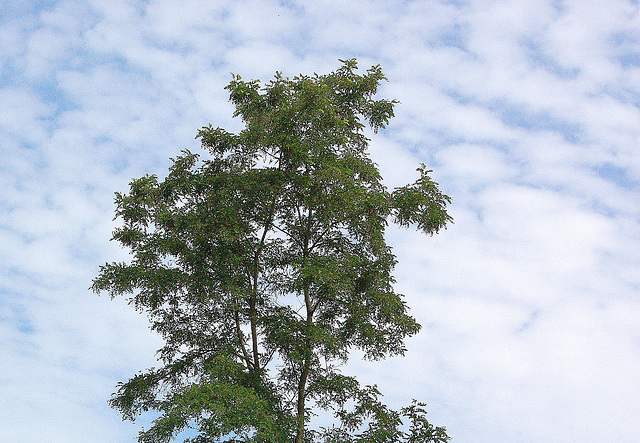 delikata verdo en la ĉielo 2 - delikates Grün im Himmel 2