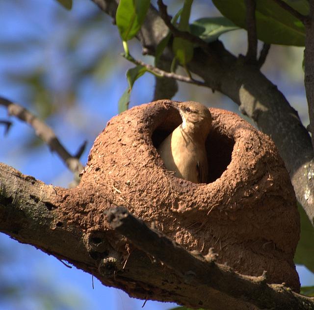 Fournier roux au nid, Argentine