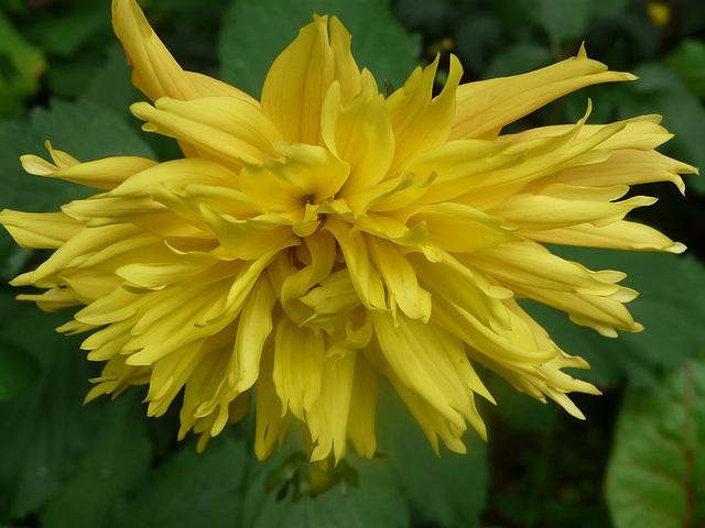 juillet le 13.2009  dahlia jaune