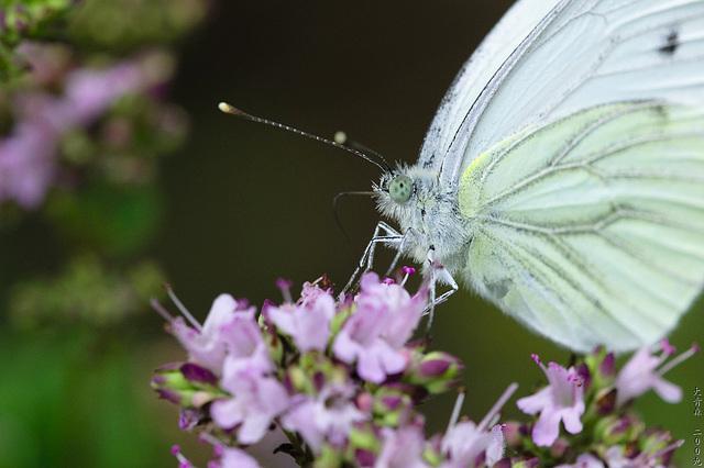 Schmetterlinge // 02