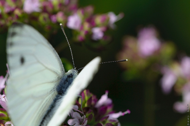 Schmetterlinge // 03