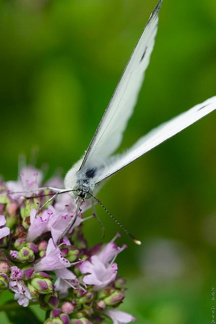 Schmetterlinge // 04