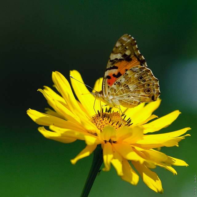 Schmetterlinge // 06