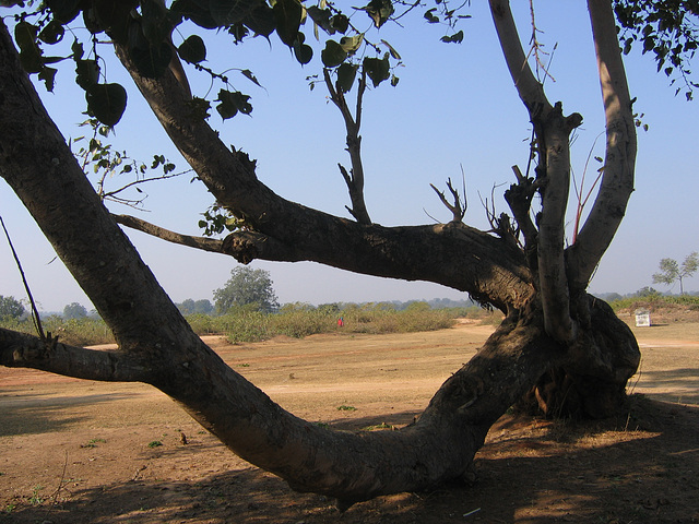 A tree in India