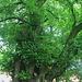der Baum /   Ulmus