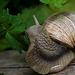L'escargot mange