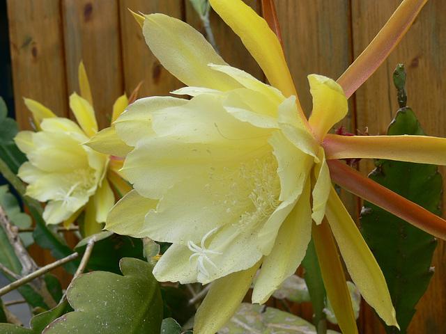 Kaktusblüten