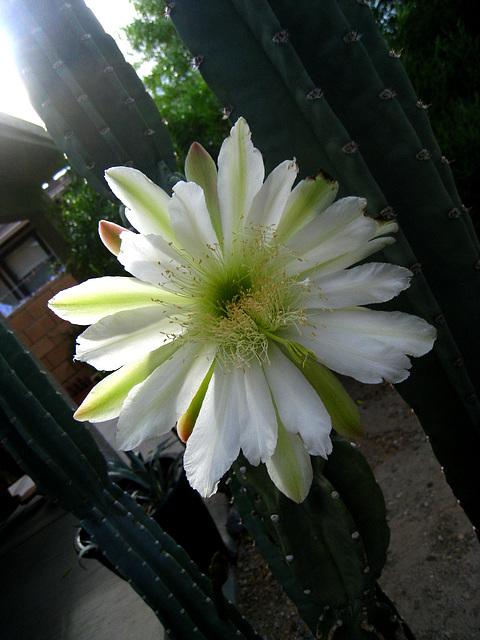 Cereus Bloom (2778)