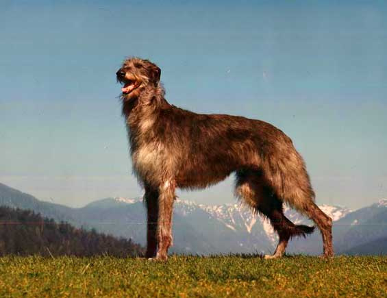 Chien race Deerhound