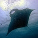 Mantas don't like air bubbles???