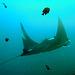 Manta ray in its natural habitat