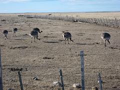 Ñandues, Punta Arenas