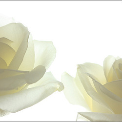 Simply two white roses