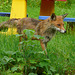 Fuchs in meinem Garten - vulpo en mia gardeno - renard dans mon jardin - fox in my garden