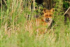 Fox in tall grass