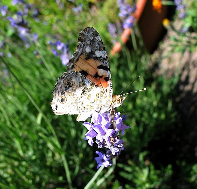 mein 1.Schmetterling