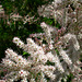 floranta arbusto