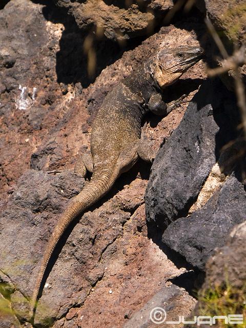 Lagarto de Gran Canaria  (Gallotia stehlini)