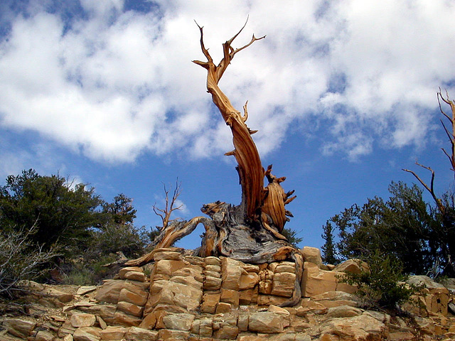 Pin de Bristlecone, Californie