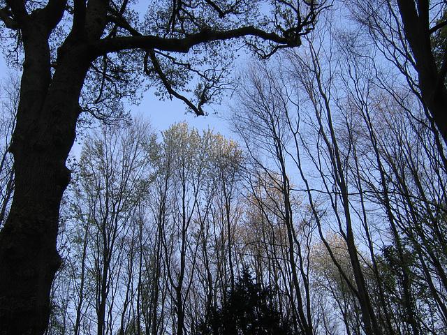 arbres ténus