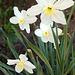 Narcisoj