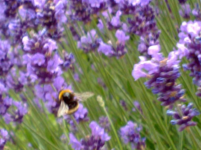 Flores de espliego con abejorro.