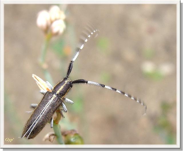 Agapanthia cardui (en mouvement)