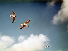 Möwen über Schiermonnikoog 1985