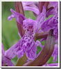 Dactylorhiza maculata (détail)