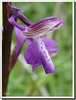 Orchis morio picta (détail)